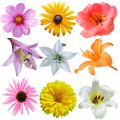 stock photo of cosmos flowers  - Set of flower heads isolated on white background - JPG
