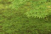 Green Maple Leaf In Springtime Season. Natural Background poster