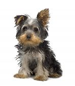 picture of yorkshire terrier  - Yorkshire Terrier puppy  - JPG