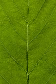 pic of chloroplast  - A high resolution image of a leaf at a macro level of detail - JPG
