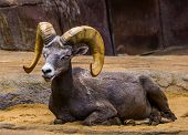 Beautiful Closeup Portrait Of A Male Bighorn Sheep, Tropical Animal Specie From North America poster