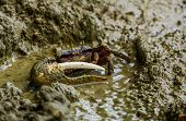 Closeup Of A Male Fiddler Crab In The Mudflats, Tropical Crustacean Specie poster