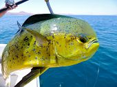 picture of mahi  - Dolphin Fish after being landed by sport fisherman - JPG