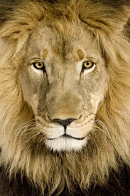picture of lions-head  - Close - JPG