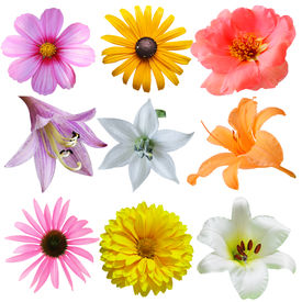 pic of cosmos flowers  - Set of flower heads isolated on white background - JPG