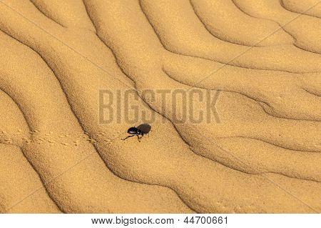 Escaravelho (Scarabaeus) no deserto de dunas de areia