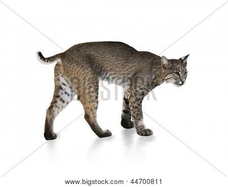 A Young Bobcat On White Background
