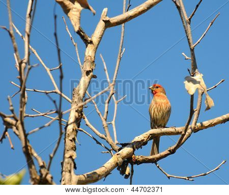 House Finch (Carpodacus mexicanus) perched on the branch of a leafless tree.