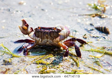 Sand crab on guard