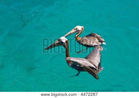 Two Floating Pelican