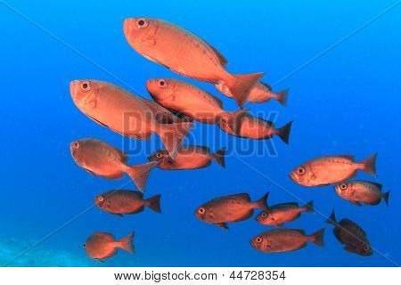 School of Fish: Red Crescent-tailed Bigeyes in blue water