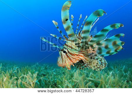 Lionfish (Pterois miles) hunts over sea grass in blue water