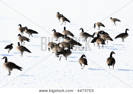 Canada Geese On Frozen Lake