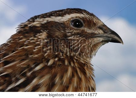 Brown quail