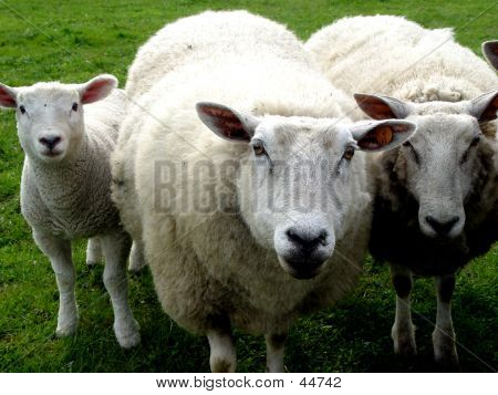Wool Family