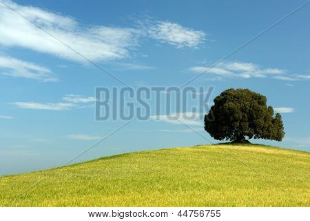 Single oak tree standing in a Tuscan wheat field on a hill