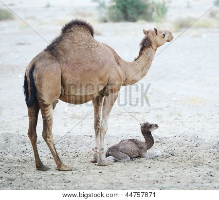 Loving camel mother and baby