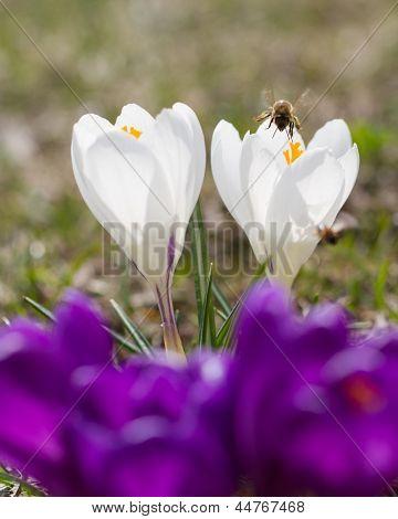 Springtime - bee and spring crocus flowers