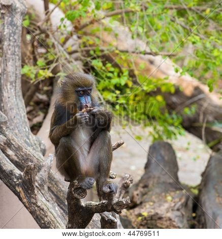 Mandrill sitting on a tree
