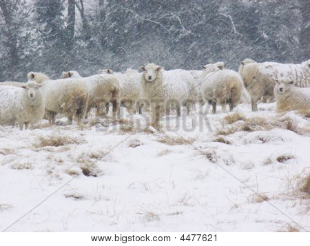 Sheep Snow
