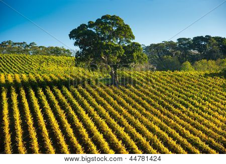 Fresh South Australian vineyard