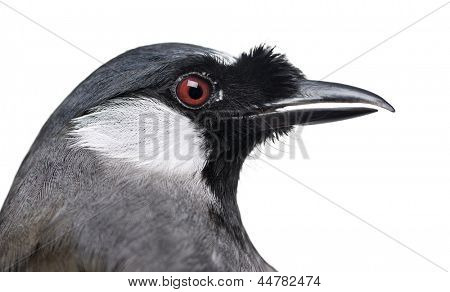 close-up of a Black-throated Laughingthrush - Garrulax chinensis - isolated on white