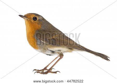European Robin - Erithacus rubecula - isolated on white