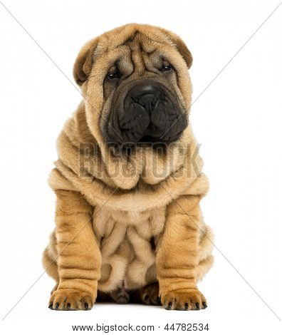 Front view Shar pei puppy sitting (11 weeks old) isolated on white