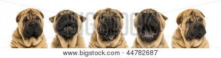 View of Shar pei puppy heads (11 weeks old) yawning - isolated on white
