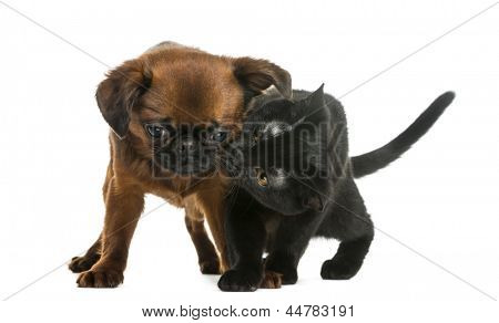 Bombay kitten sniffing a Petit Brabancon, isolated on white