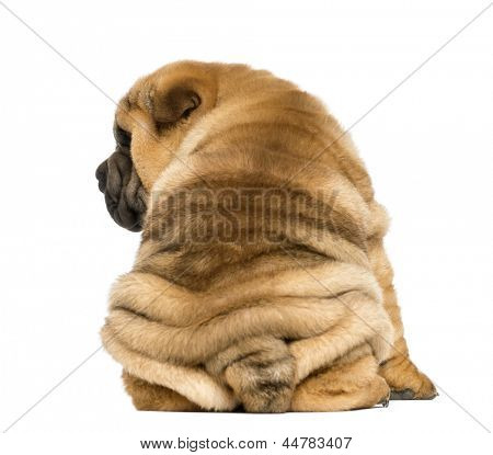 Back view of a Shar pei puppy sitting (11 weeks old) isolated on white