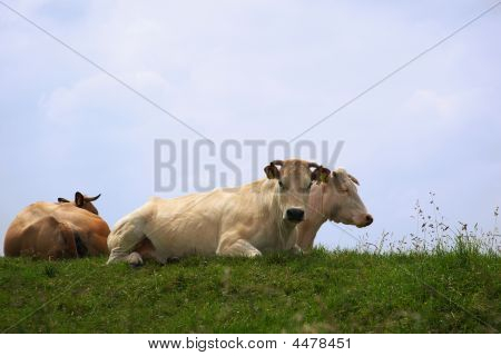 Dutch Cows On A Dike