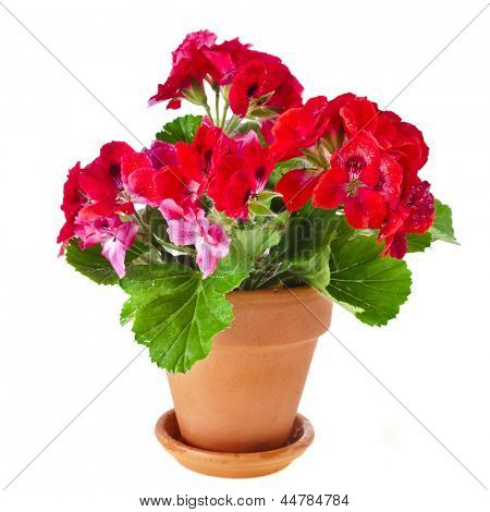 Red geranium flower, potted plant isolated on white background