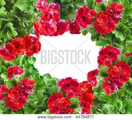 frame card of Geranium Pelargonium Flowers with copy space for text on white background