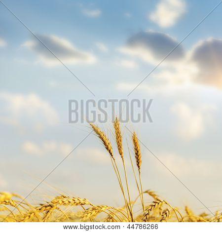 sunset over golden harvest. soft focus