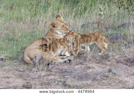 Lion Cubs Caregiving