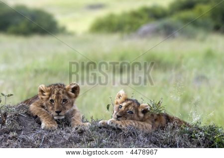 Two Sleepy African Lion Cubs