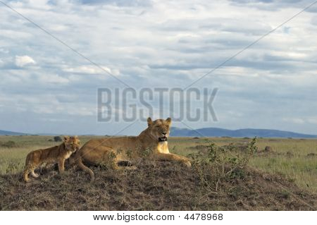 African Lioness With Cubs