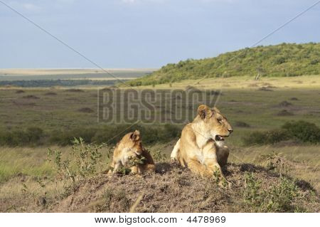 African Lioness Panthera Leo Nubica With Her Cub