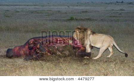 Male Lion  Feeds On The Spoils Of Hippopotamus