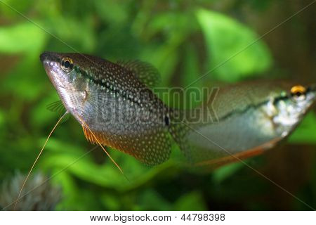 Couple Pearly Gourami