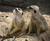 Dois Meerkats, Close-Up tiro