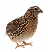 stock photo of quail  - Quail - JPG