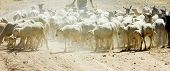 sheep herd, Badajoz Province, Extremadura, Spain