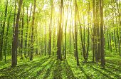 pic of tree leaves  - Beautiful nature at morning in the misty spring forest with sun rays - JPG
