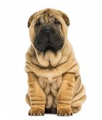 stock photo of shar-pei puppy  - Front view of a Shar pei puppy sitting and looking at the camera  - JPG