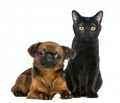 foto of british bombay  - Bombay cat sitting next to Petit Brabancon - JPG