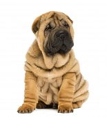stock photo of shar pei  - Shar pei puppy sitting  - JPG