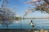 pic of thomas jefferson memorial  - Thomas Jefferson Memorial during cherry blossom festival in Washington DC United States - JPG
