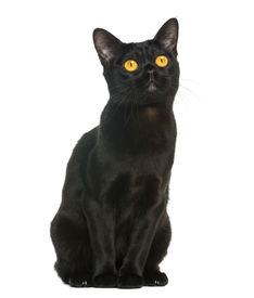stock photo of american bombay  - Bombay cat sitting and looking up - JPG